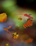 Autumn leaves of aspen tree Stock Images
