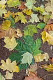 Autumn leaves on asphalt. Background royalty free stock photography