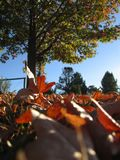 Autumn leaves in Australia. Low angle of fallen liquid amber leaves and sunny autumn morning sky Royalty Free Stock Image