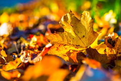 Autumn leaves in autumn colours and lights Stock Photography