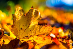 Autumn leaves in autumn colours and lights Royalty Free Stock Image