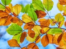 Autumn Leaves. During autumn season Royalty Free Stock Photos