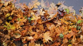 Autumn leaves. Autumn weather brings cooler temperatures and fall colors Royalty Free Stock Image