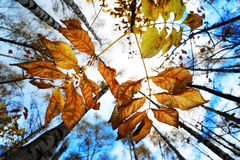 Autumn Leaves. Autumnal leaves against the blue sky with trees perspective Royalty Free Stock Photo