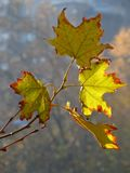 Autumn leaves with back light Royalty Free Stock Photos