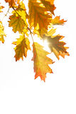 Autumn leaves back lit by sun Royalty Free Stock Images
