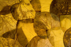Autumn leaves background. Autumn aspen leaves background pattern Royalty Free Stock Photography