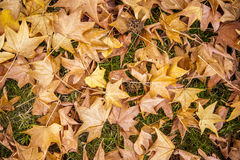 Autumn leaves background. Seasonal shot of a bunch of yellow autumn leafs Stock Photos
