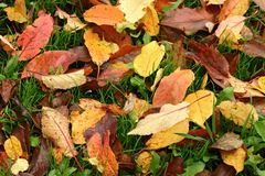 Autumn leaves background. (apple tree royalty free stock image