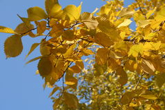 Autumn leaves background. Golden autumn in Russia Royalty Free Stock Photography