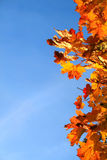 Autumn leaves background. Autumn leaves and blue sky Stock Photography