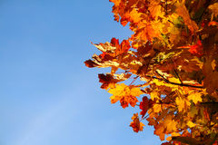 Autumn leaves background. Autumn leaves and blue sky Stock Photos