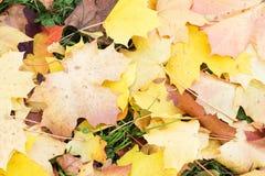 Autumn Leaves Background Acero arancio, giallo e verde Fotografia Stock
