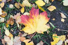Autumn Leaves Background Acero arancio, giallo e verde Fotografia Stock Libera da Diritti