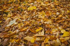 Autumn Leaves Background Beschaffenheit von gefallenen Blättern im Herbst Herbst im Holz Lizenzfreie Stockbilder