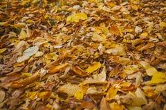 Autumn Leaves Background Beschaffenheit von gefallenen Blättern im Herbst Herbst im Holz Stockfotografie