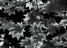 Autumn leaves background in black and white. Clusters of autumn leaves on small branches with sunlight flitering through Royalty Free Stock Image