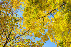 Autumn leaves on background blue sky Stock Images