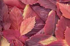Autumn leaves background. Close up Stock Photography