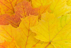 Autumn leaves background.a close up shot Stock Images