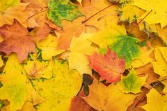 Autumn leaves background. Colorful autumn leaves. fall season concept background stock image