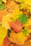 Autumn leaves background. Colorful autumn leaves. fall season concept background royalty free stock photos