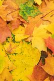 Autumn leaves background. Colorful autumn leaves. fall season concept background royalty free stock image