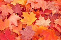 Autumn Leaves. Autumn background with colorful maple leaves Royalty Free Stock Image