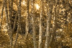 Autumn Leaves Background, Autumn colors in the forest: Golden fall forest. royalty free stock photos