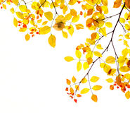 Autumn leaves background in gold and red. A seasonal autumn colours border picture with golden yellow and red leaves on a tree making a half frame. Taken in royalty free stock photo