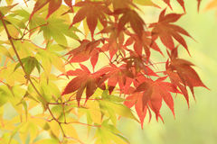Autumn leaves background, green and red maples on tree Royalty Free Stock Photos
