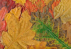 Autumn leaves background leafs Royalty Free Stock Images