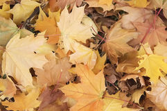 Autumn leaves background. Autumn maple leaves background close up Stock Images