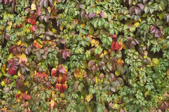 Autumn leaves background. Autumn maple leaves background close up Stock Photos