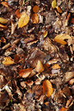 Autumn leaves background. Leaves from a mix of trees and a range of colours from yellow, to brown to orange Stock Image