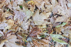 Autumn leaves background natural colours. Autumn leaves background on the forest floor in natural pale colours Stock Photo