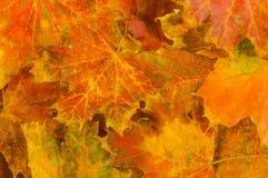 Autumn leaves background. Orange, yellow, red, brown and green autumn leaves background Royalty Free Stock Image