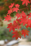 Autumn leaves background, Red maples on tree Royalty Free Stock Photos