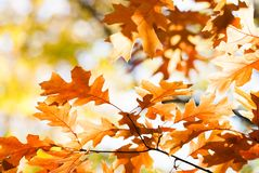 Autumn leaves background. Red oak tree branch with colorful yellow orange brown leaves. Beautiful foliage, seasonal fall. Landscape stock image