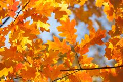 Autumn leaves background. Red oak tree branch with colorful yellow orange brown leaves. Beautiful foliage, seasonal fall. Landscape royalty free stock image