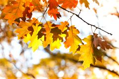 Autumn leaves background. Red oak tree branch with colorful yellow orange brown leaves. Beautiful foliage, seasonal fall. Landscape stock photo