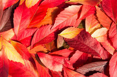 Autumn Leaves Background rouge et orange Photographie stock libre de droits