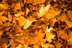 Autumn leaves background in shades of yellow Royalty Free Stock Photo