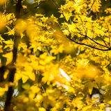 Autumn leaves background in sunny day Royalty Free Stock Photo
