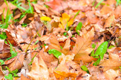 Autumn leaves background wallpaper Royalty Free Stock Photo