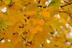 Autumn leaves. Background of yellow autumn leaves Royalty Free Stock Photo