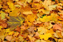 Autumn leaves. Background of yellow autumn leaves stock photography