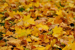 Autumn leaves. Background of yellow autumn leaves Stock Photos