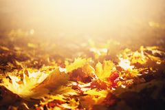 Free Autumn Leaves Background. Yellow Maple Leaf Over Blurred Texture With Copy Space. Concept Of Fall Season. Golden Autumn Card Stock Photos - 159235043