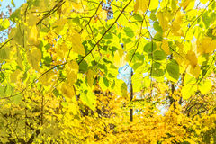 Autumn leaves backlit Royalty Free Stock Photo